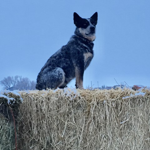 AKC Registered Australian Cattle Dog Puppies