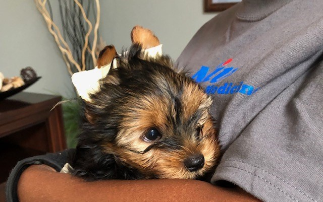 Yorkshire Terrier puppy for sale + 58215