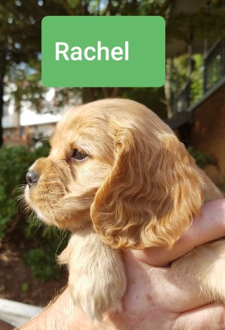 beautiful 7 week old Cockalier puppies for sale