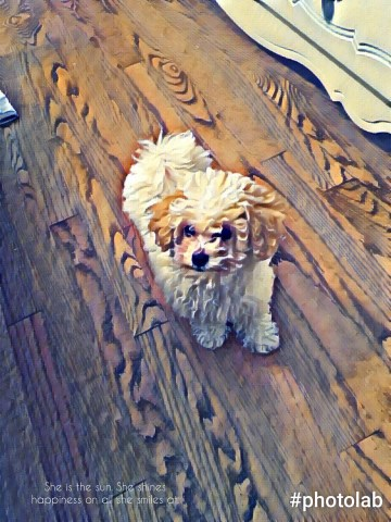 Bichon Frise Puppy Dog For Sale In Hickory North Carolina