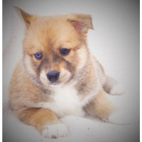 Pomsky Puppies Available To Go To Their Furever Home April 30th Siberian Husky for sale/adoption