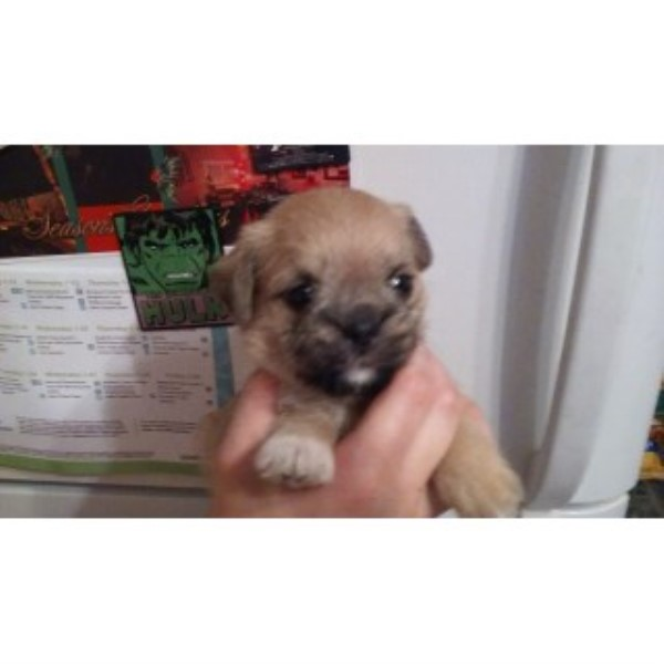 Pug-hasas Litter Coming Of Age To Go To Forever Homes! Pug for sale/adoption