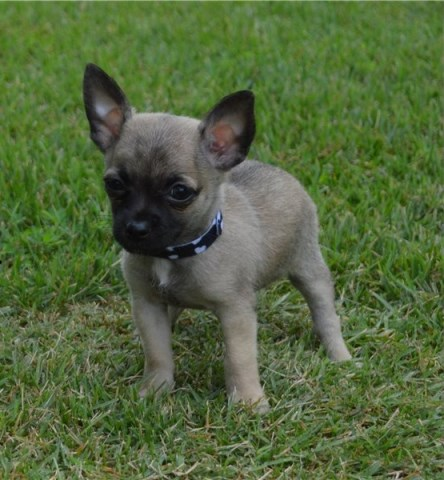 Chihuahua Puppy Dog For Sale In Denver Colorado