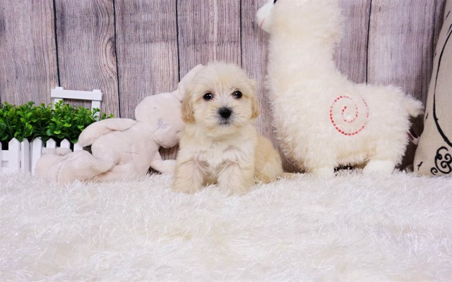 Maltipoo puppy for sale + 55593