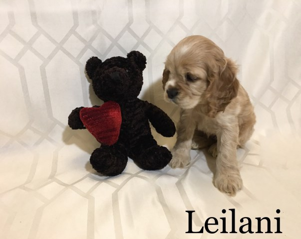 American Cocker Spaniel puppy for sale + 48305
