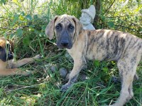 Fawn & Brindle AKC part euro Great Dane male puppies Great Dane for sale/adoption