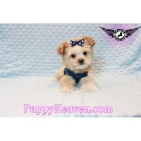 Gorgeous Tiny Teacup  Morkie Puppies In Las Vegas! Morkie for sale/adoption