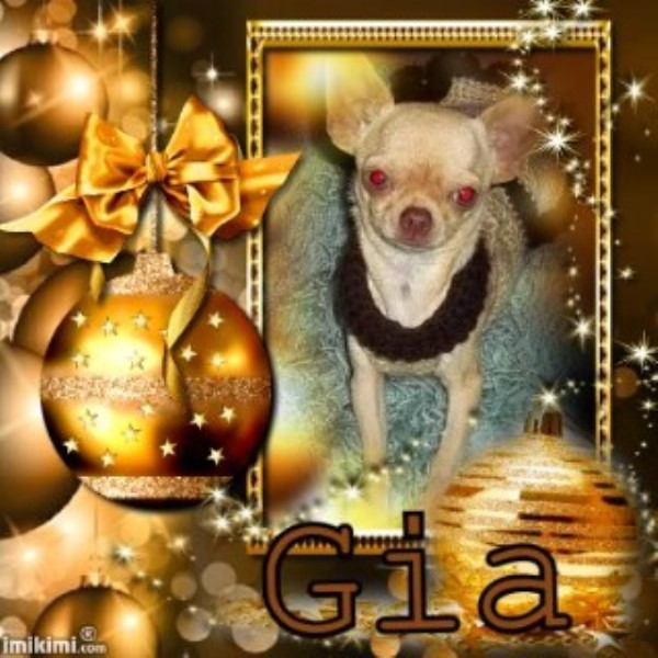 Gia Beautiful Apple Head Chihuahua Female