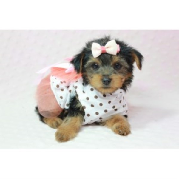 Adorable Teacup Yorkies Available Now! Yorkshire Terrier for sale/adoption