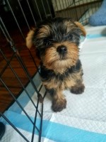 TINY Male Yorkie (Teacup) 10 weeks old Yorkshire Terrier for sale/adoption