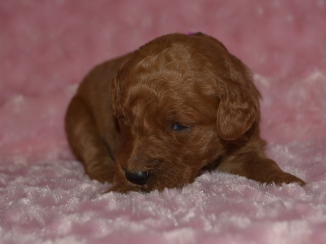 Goldendoodle puppy for sale + 60183