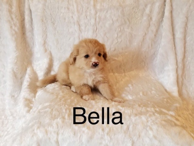 Shih Tzu Puppy Dog For Sale In Los Angeles California
