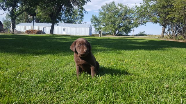 Labrador Retriever puppy for sale + 58285