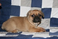 Frenchie/ pug mix pups French Bulldog for sale/adoption