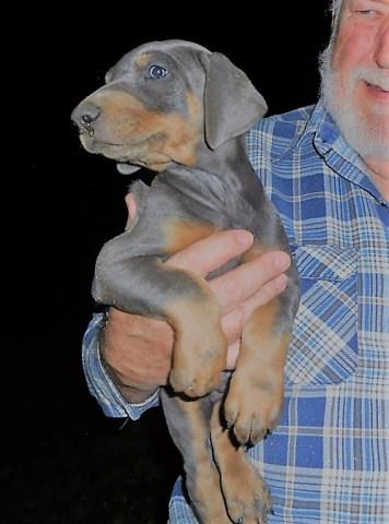Doberman Pinscher Puppy Dog For Sale In Temecula California