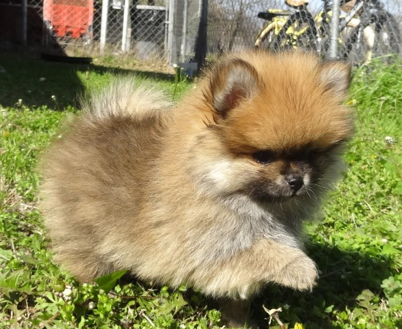 Madison : Pomeranian puppies for sale in texas