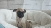 Pug Dogs and Puppies for Adoption