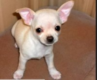pretty little spike needs a new home Chihuahua for sale/adoption