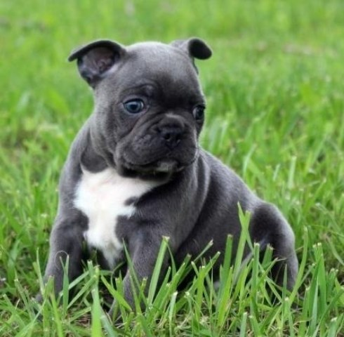 French Bulldog Puppy Dog For Sale In Mount Vernon Ohio
