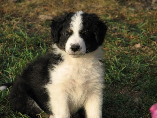 English Shepherd Puppy Dog For Sale In Cornwallville New York