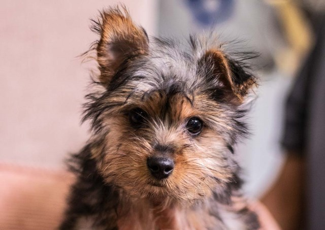 Timmy the Yorkshire Terrier