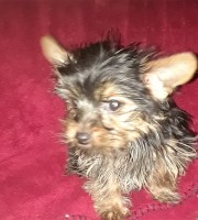 Tiny Toy Yorkshire Terrier Puppies Yorkshire Terrier for sale/adoption