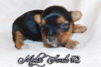 Adorable Morkie Pups available Morkie for sale/adoption