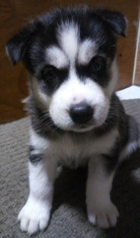 Siberian Husky Puppy Dog For Sale In St Louis Area Missouri