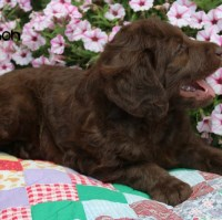 Mason male Labradoodle Chocolate Labradoodle for sale/adoption