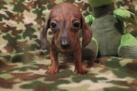 Tiny Adorable Miniature Dachshund Puppy Dachshund for sale/adoption