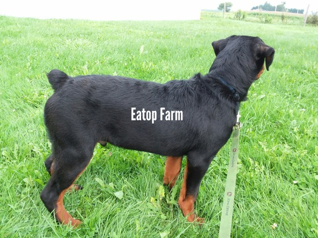 Rottweiler Puppy Dog For Sale In Moravia New York