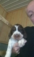 English Springer Spaniel Puppies and Dogs for Sale in Minnesota