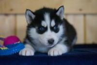 Boomer Siberian Huskey Siberian Husky for sale/adoption