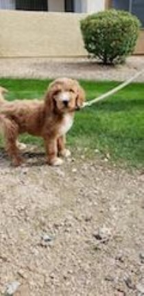 10wk Goldendoodle puppy for sale