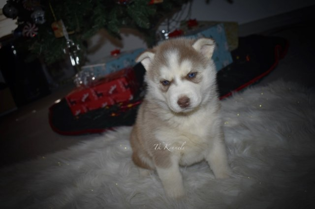 Siberian Husky puppy for sale + 54402