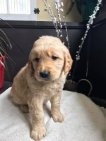 AKC Golden Retriever Puppies for Sale - 3 males & 4 females Golden Retriever for sale/adoption