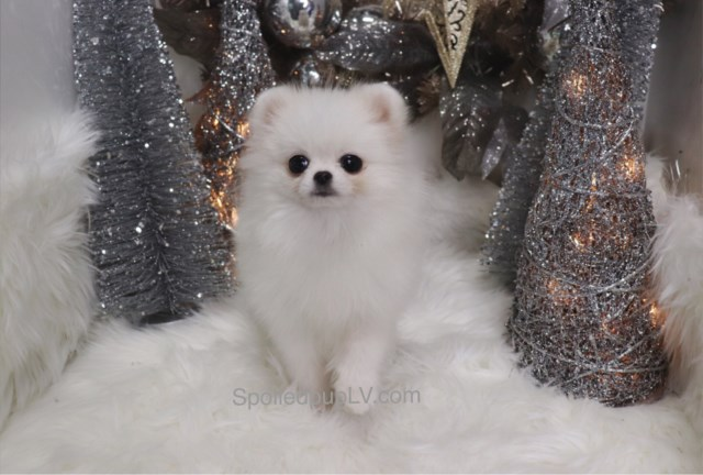 Pomeranian puppy for sale + 54650
