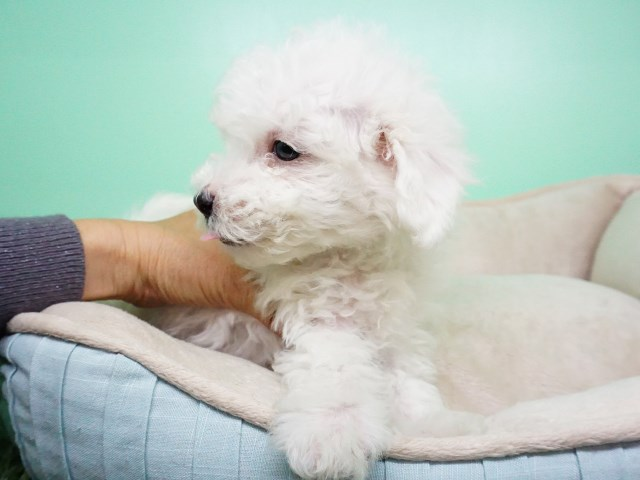 Maltipoo puppy for sale + 54882
