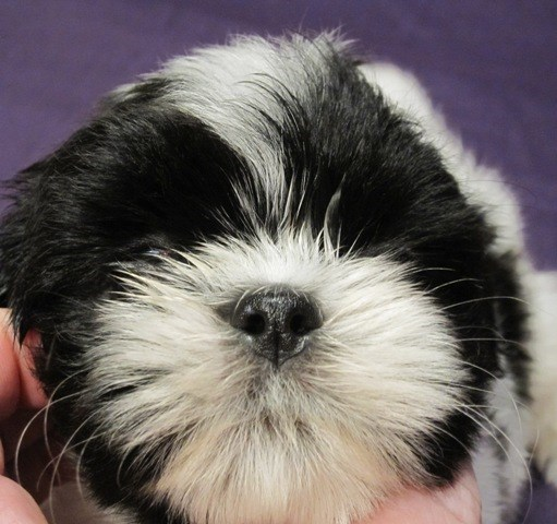 Shih Tzu Puppy Dog For Sale In Houston Texas