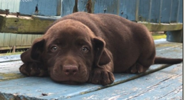Labrador Retriever Puppy Dog For Sale In Missouri City Texas