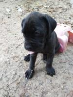 Neapolitan Mastiff Dogs and Puppies for Adoption