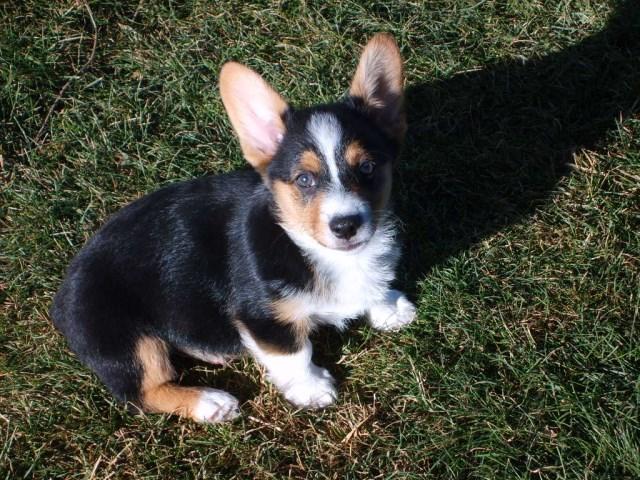 Pembroke Welsh Corgi puppy dog for sale in Yakima, Washington