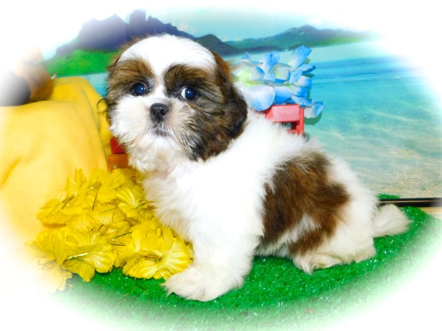 Shih Tzu puppy for sale + 58309