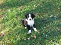English Shepherd Dogs and Puppies for Adoption