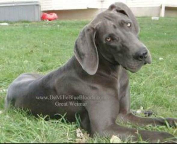 Great Dane Puppy Dog For In Genola