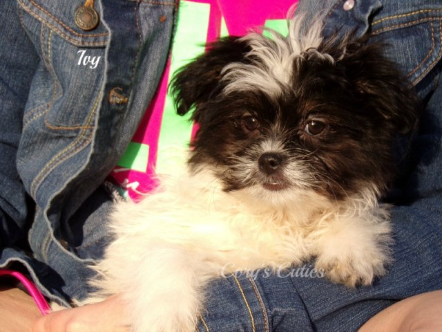Shih Tzu puppy for sale + 54574