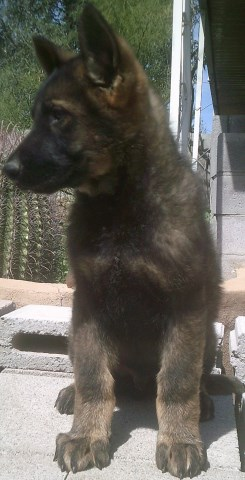 German Shepherd Dog puppy for sale + 48622