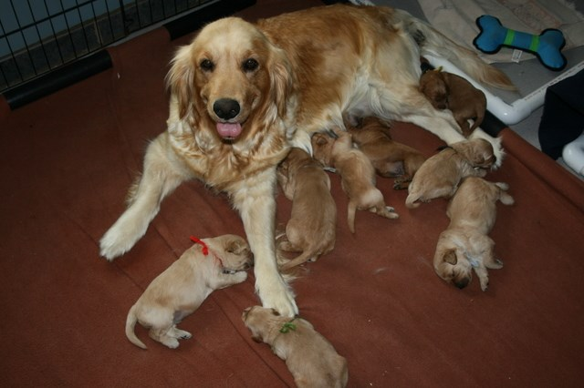 Goldendoodle puppy dog for sale in Ellsworth, Wisconsin