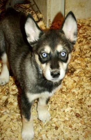 Siberian Husky puppy for sale + 55087
