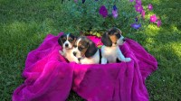 Designer puppies for sale Beagle for sale/adoption